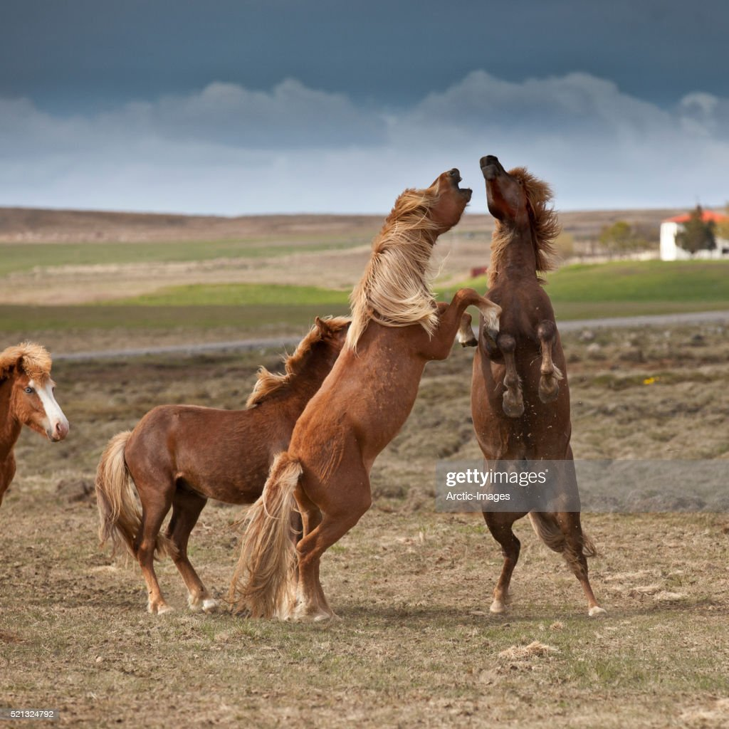 Icelandic Stallions playing, Northern Iceland