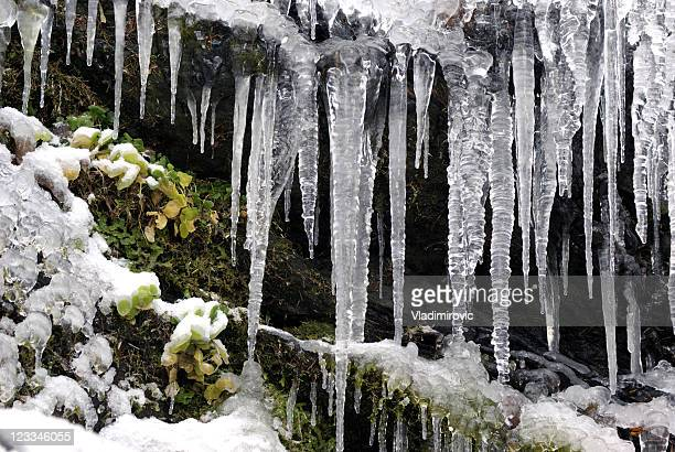 Icicle grass