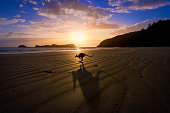 A kangaroo jumps in front of a sunrise over the beach in tropical north Queensland, creating a dramatic shadow in the foreground