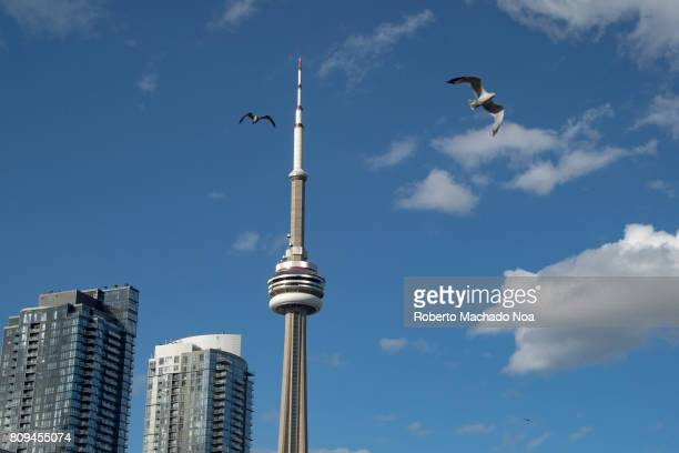 Iconic CN Tower in the city skyline Seagull flying in a beautiful blue clear sky in the city during the Summer season