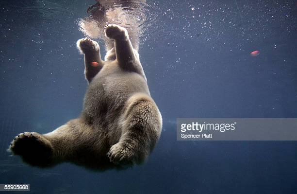 Ida a 19 year old polar bear swims in her pen at the Central Park Zoo October 12 2005 in New York City Conservation groups including Greenpeace the...