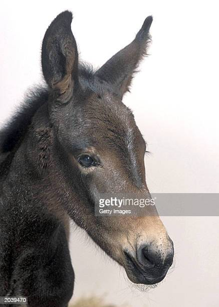 Idaho Gem a cloned baby mule was born May 4 2003 According to an article to be published in the Journal of Science a research team at the University...