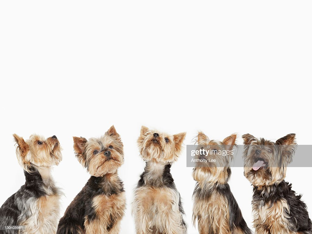 Identical dogs sitting together : Stock Photo
