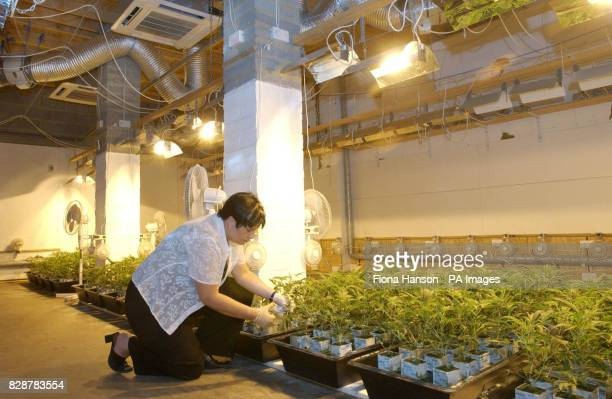 Identification Officer Helen Windsor takes cuttings from nursery plants inside a sophisticated illegal cannabis factory in Edmonton north London...