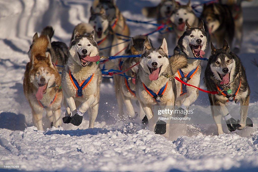 Iditarod huskies : Stock Photo