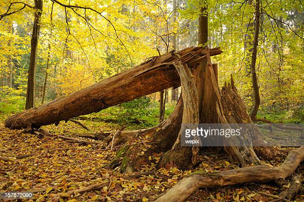 Idyllic autum fallen splintered tree weatherbeaten beautiful forest scene