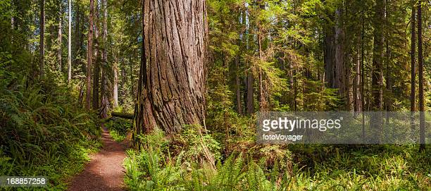Idyllic forest trail through Giant Redwood grove California USA