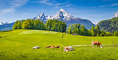 Idyllic summer landscape in the Alps with cow grazing on fresh green mountain pastures and snow capped mountain tops in the background, Nationalpark Berchtesgadener Land, Upper Bavaria, Germany.