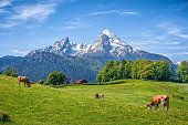Idyllic landscape in the Alps with cow grazing in fresh green meadows between blooming flowers, typical farmhouses and snowcapped mountain tops in the background, Nationalpark Berchtesgadener Land, Ba