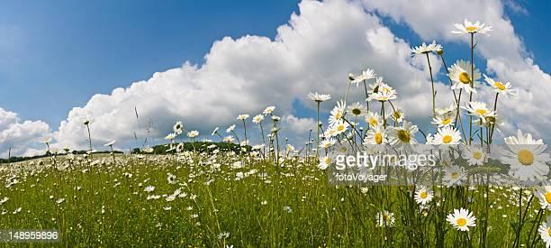 Idyllic summer meadow daisies