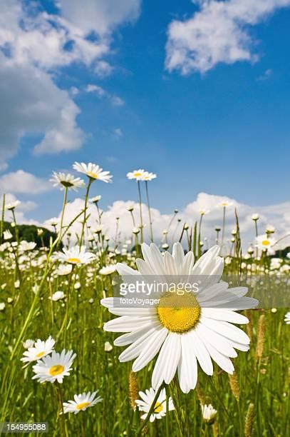 Idyllic summer wildflower meadow daisies blue sky