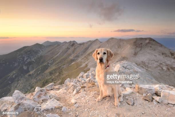 Idyllic view of golden retriever dog sitting on a mountain ridge at sunset