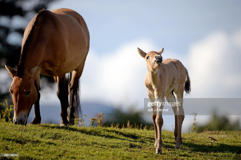 Ieda 12yearold mare with her new Przewalski foal at the Highland Wildlife Park on September 9 2013 in Kingussie Scotland The foal born on the 2nd...