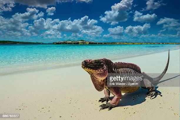Iguana At Beach During Sunny Day
