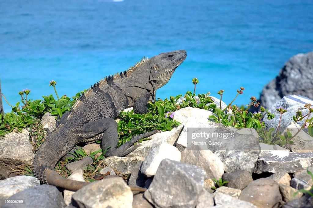 Iguana by the ocean : Stock Photo