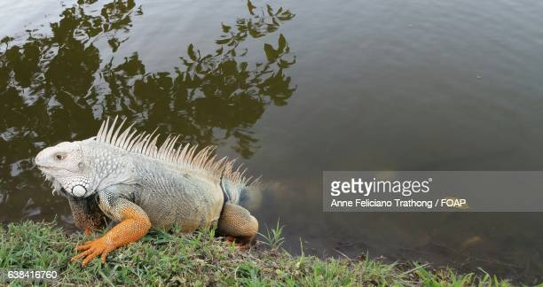 Iguana coming out of water