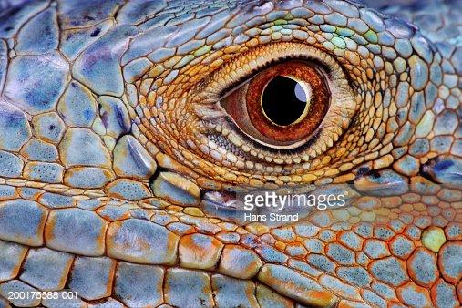 Iguana (Iguana iguana) eye, close-up