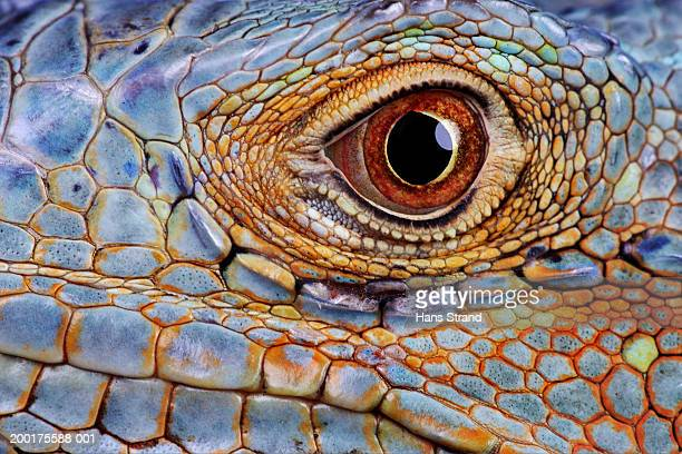 Iguana (Iguana iguana) eye, close-up