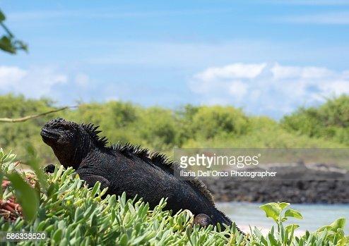 Iguana in Concha de Perla, Isabela Isle, Galapagos