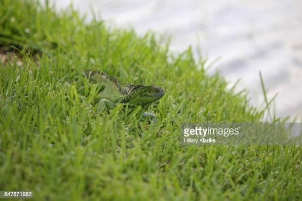 Iguana in grass