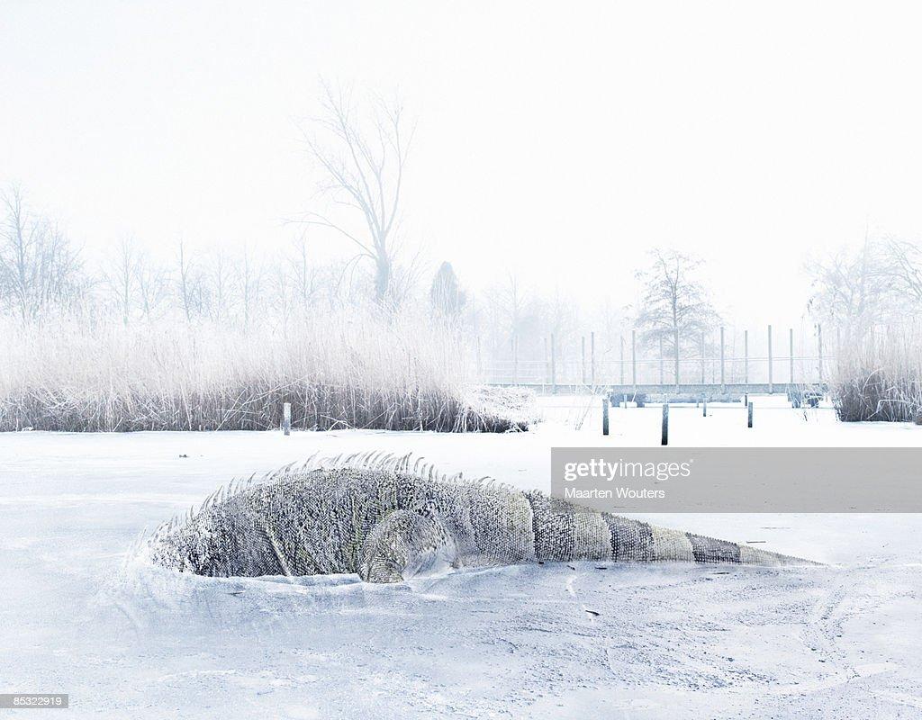 iguana in ice : Stock Photo