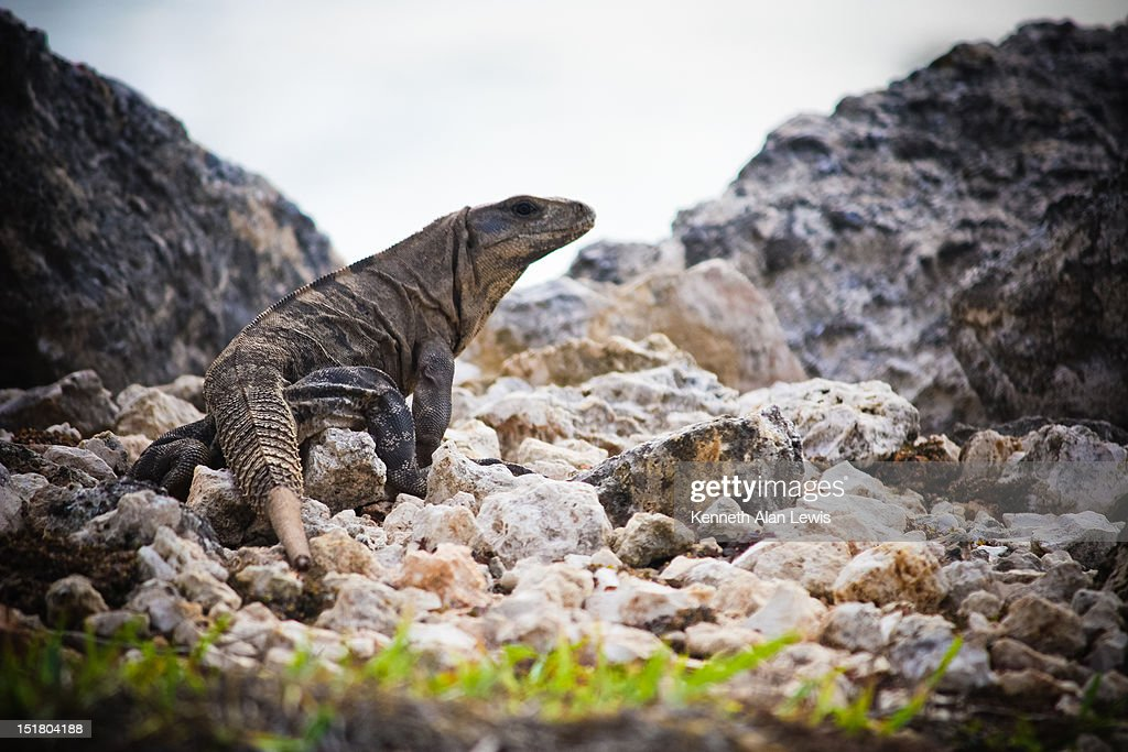 Iguana in rocks : Stock Photo