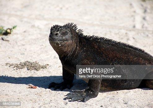 Iguana in San Cristobal Isle, Galapagos