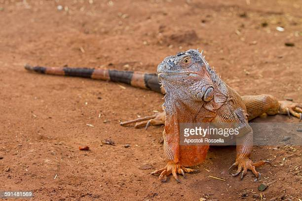 Iguana in the desert