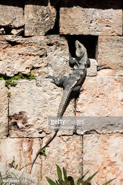 Iguana in Uxmal Mayan ruins, Mexico