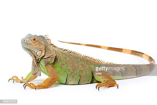 Iguana Isolated on White