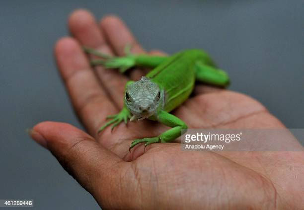 Iguana lovers take a part in the Iguana Contest in Surakarta Central Java Indonesia on January 10 2015 The assessment criteria includes body shape...