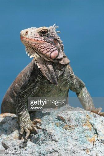 Iguana on St. John