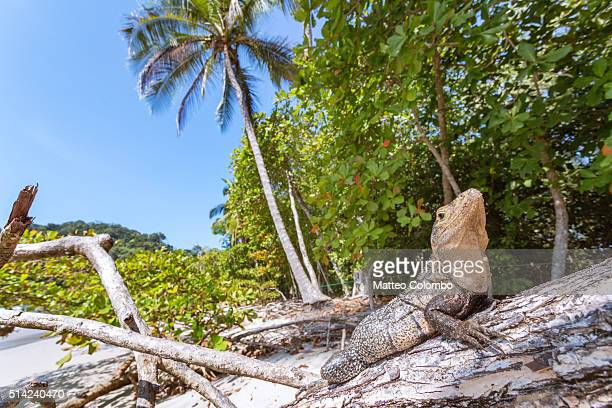Iguana on tropical beach, Manuel Antonio National Park, Costa Rica