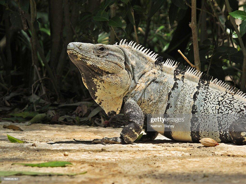 Iguana : Stock Photo