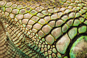 colorful iguana reptile skin, close up