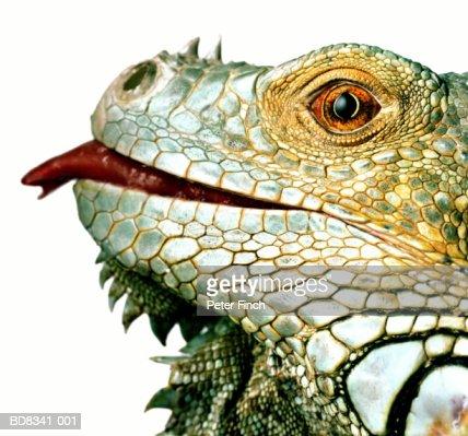 Iguana (Iguana iguana) with tongue out, close-up, profile
