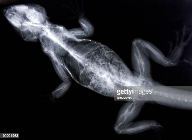 Iguana x-ray