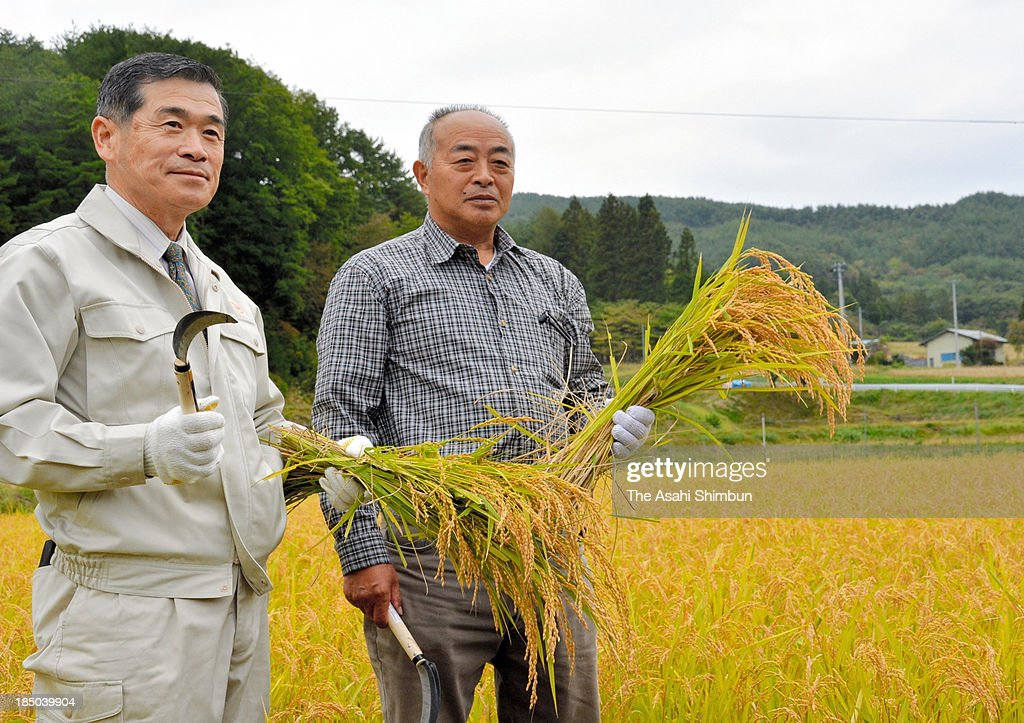 Iitate Village Mayor Norio Kanno (L) and Nagadoro area chief Yoshitomo Shigihara crop rice from the decomtaminated rice paddy on October 15, 2013 in Iitate, Fukushima, Japan. The area is designated as No-Return zone of the crippled Fukushima Daiichi Nuclear Power Plant accident.