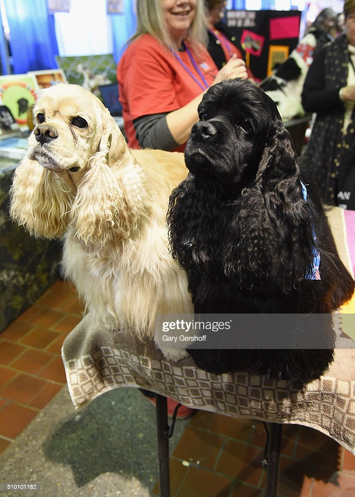 Ike, an eight year old male Cocker Spaniel (L) and Ace, a six year old male Cocker Spaniel attend the 7th Annual AKC Meet The Breeds at Pier 92 on February 13, 2016 in New York City.