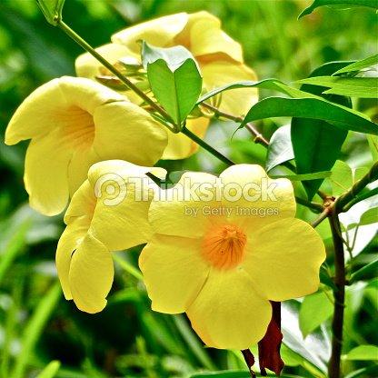 ile maurice jardin pamplemousse fleur jonquille stock photo - Fleur Jonquille
