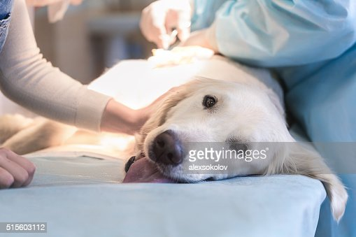 Ill retriever in veterinary clinic. : Stock Photo