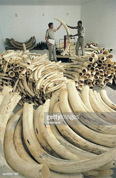Illegal haul of elephant ivory