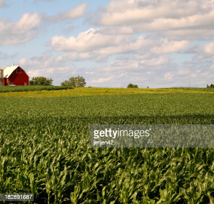 Illinois Corn Field