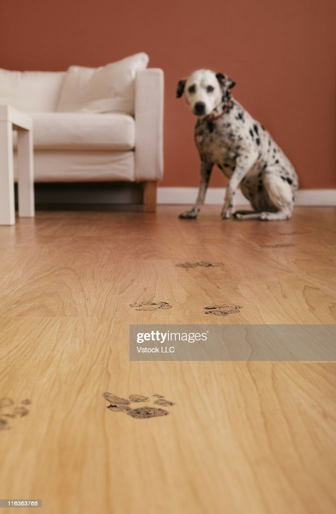 USA, Illinois, Metamora, Close-up of floor with dog's footprints, Dalmation dog lying in background