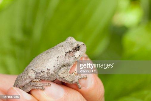 USA, Illinois, Metamora, man holding gray tree frog