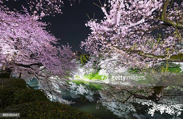Illuminated Cherry blossoms at Chidorigafuchi Moat