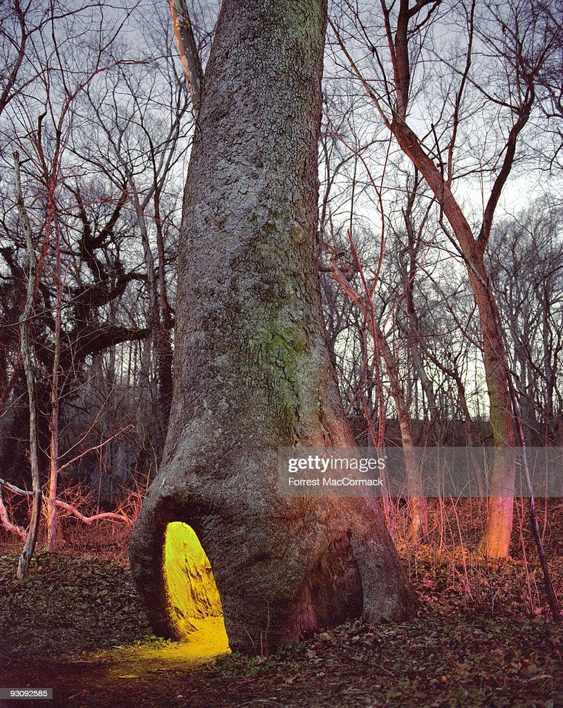Illuminated hollow of sycamore tree
