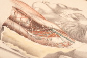 Illustrated plate from 'Illustrations of Dissections in a Series of Original Colored Plates representing the Dissection of the Human Body' shows two...