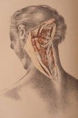 Illustrated plate from 'Illustrations of Dissections in a Series of Original Colored Plates representing the Dissection of the Human Body' shows the...