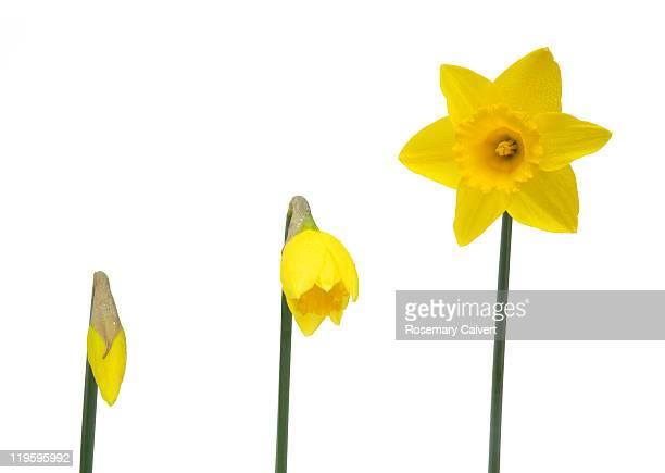 Illustrating daffodil opening, white background.